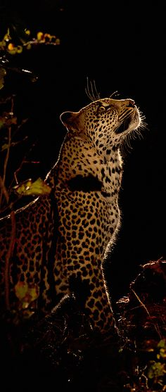 Leopard - Catching the Prey by Greg Du Toit * Wildlife Nature, Nature Animals, Animals And Pets, Big Cats, Cats And Kittens, Cute Cats, Jaguar, Black Footed Cat, Panther Leopard
