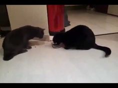 Funny cats dispute for a plate of food  -  Gatos se disputan plato de comida (gracioso)