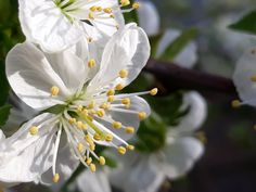 Sour cherry flower (own photo)