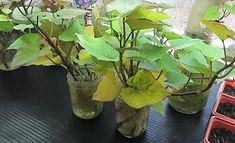Ako vypestovať sladké zemiaky | pestovanie.eu Fruit Garden, Plants, Orchards, Plant, Planets
