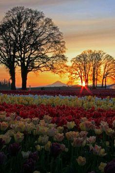Wooden Shoe Tulip Farm, near Canby, Oregon, USA