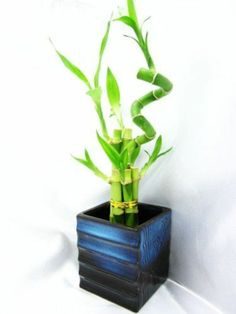 lucky bamboo indoor plants flower pot vase asia blue