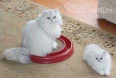 Teacup kitten breeder specializing in doll faced Chinchilla, White, and Silver Teacup Persian Kittens. Check out our Cute Persian Kitten Photos! Worldwide delivery is available.