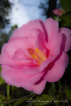 Pink Camellia Bloom by LedByLight on Etsy