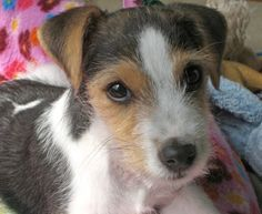 scruffy jack russell terrier :)