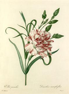 Pierre Joseph Redouté -- Oeillet panaché : Dianthus cariophyllus -- Pierre-Joseph Redouté -- Artists -- RHS Prints
