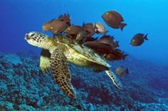 Scuba dive with turtles or come to Boa Vista island to see them nesting.