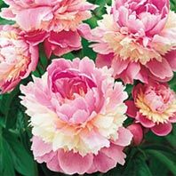 Karl Rosenfield peony plants grow plump, heavily petaled full sun flowers in red. Sorbet peony flowers from Gurney's Seed & Nursery come in many colors to brighten any flower garden. Peony Flower, Flower Seeds, Peony Plants For Sale, Peonies For Sale, Peony Care, Peonies Season, Spring Hill Nursery, Sun Perennials, Gardens