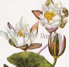 White Water Lily Lotus Vintage Aquatic by SurrenderDorothy on Etsy, $11.89