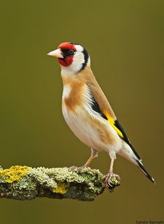 Goldfinch, photo by Sandor Bernath