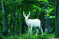 Albino deer, also known as white ghost deer, live a private life in the northern Wisconsin woods, according to PBS. Captured here by photographer Jeff Richter, the albino deer appears almost mythical. I have seen this deer in Iron County. Albino Deer, Rare Albino Animals, Beautiful Creatures, Animals Beautiful, Cute Animals, Wild Animals, Elf Rogue, She Wolf, Oh Deer