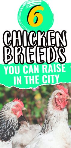 Not all chicken breeds do well in small backyards. So, if you want to raise chickens in the city, you needs chicken breeds that are okay with smaller spaces. Here are 6 great options for urban backyard chicken keepers.