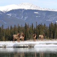 Floating down the river with #elk on the snow banks looking on. #wildlife by explorejasper