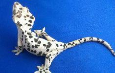 super dalmatian crested gecko ink spot - Google Search Cute Reptiles, Reptiles And Amphibians, Mammals, Reptile Habitat, Reptile Room, Rare Animals, Animals And Pets, Lizard Dragon, Baby Skunks