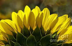 Sunflower Glowing Abstract By Nature Photograph by Lee Craig - Sunflower Glowing Abstract By Nature Fine Art Prints and Posters for Sale