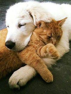 animals friends unlikely animal friends Cat love, best friends the perfect indoor companion. Cute Baby Animals, Animals And Pets, Funny Animals, Beautiful Cats, Animals Beautiful, Unlikely Animal Friends, Tier Fotos, Ginger Cats, Cat Love