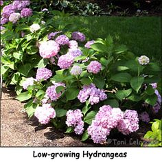 Dwarf Shrubs: Perfect Choices for Many Reasons