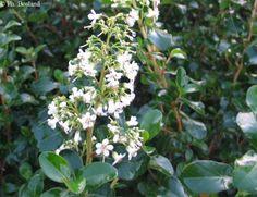 1000 ideas about arbuste persistant on pinterest hedges - Arbuste petites fleurs blanches ...