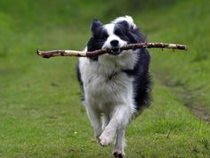 border collie | Border Collie – The Most Intelligent Dog. » bordercolliedo6