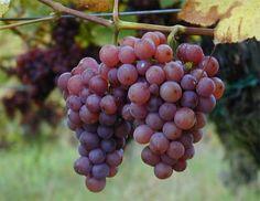 O poder da uva na estética e na saúde - A12