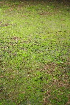 Getting rid of lawn moss is simple when you understand how and why mosses grow.