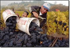 But this year, there's a late harvest due to a cool summer, with little heat to produce sugar and ripen the grapes.