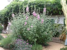 Botanical Name: Lavatera thuringiaca 'Rosea' Add Common Name: Rosea Tree Mallow Good for water wise garden! CA garden! Summer Flowers, Colorful Flowers, Front Yard Plants, Arbors Trellis, Cottage Garden Plants, Cottage Gardens, Planting Shrubs, Farm Gardens