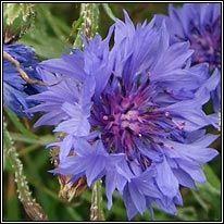 Irish Wildflowers - Cornflower