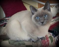 Siamese Cats Blue Point Tonkinese Cat - Smartest Cat Breed - There are smartest cat breed in the world that are integrated with a wisdom which will make you a proud and happy owners. Tonkinese Kittens, Siamese Kittens, Cats And Kittens, I Love Cats, Cute Cats, Neko, Sleepy Cat, Beautiful Cats, Cat Breeds