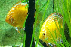 32 Blue Reef Aquarium, Discus Aquarium, Fish, Pets, Animals, Animales, Animaux, Pisces, Animal