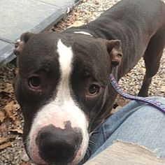 Pictures of Evie-URGENT! a Pit Bull Terrier for adoption in Oak Ridge, NJ who needs a loving home.