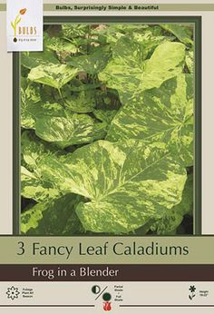 Fancy Leaf Caladium Caladium Frog in a Blender from Netherland Bulb Company - Caladiums are grown for their showy leaves. In summer they produce clumps of long stalked, heart-shaped leaves. Caladiums are easy to grow in moist well-drained soil. These shade loving but sun tolerant plants thrive in heat and humidity. Plant in containers which can then be easily lifted in northern climates where they may not survive the winter if left unprotected.