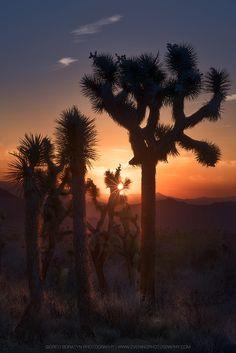 Joshua Tree National Park by Greg Boratyn (California)