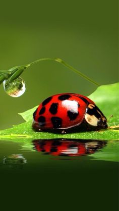 Best picture of a Lady Bug! Beautiful Creatures, Animals Beautiful, Cute Animals, Photo Coccinelle, Fotografia Macro, Bugs And Insects, 5d Diamond Painting, Animal Paintings, Macro Photography