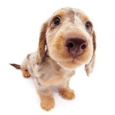 Artlist Collection THE DOG Dachshund — You make my tail wag