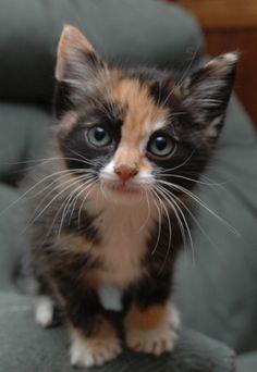 I calico kittens!!