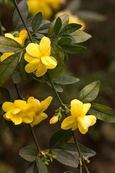 カロライナジャスミン Murraya exotica 香りは強い