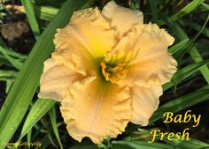 Baby Fresh Daylily photo by HappyGoDaylily