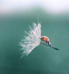 La coccinelle et son parachute. Ladybird & it's parachute.