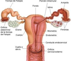 Parts de l'aparell reproductor femení