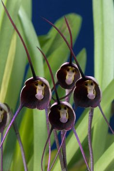 "Dracula benedictii, one of the orchids with the nickname ""monkey face"""
