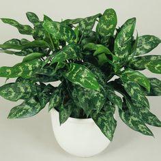 Chinese evergreen (<i>Aglaonema</i>) - Best Low Light Houseplants - Sunset