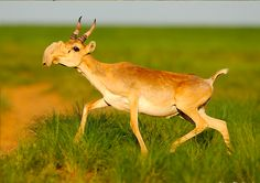 Rare animal! - Psycho Antilope -