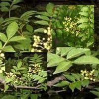 Fresno Espinoso Árbol que abunda en Norteamérica  La corteza de este árbol se utiliza contra la sífilis, el reumatismo. En odontología se utiliza para el dolor de muelas.