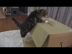 Maru Forgets That Being Inside of a Cardboard Box Is Best, Tries Sitting on Top of One - Cheezburger
