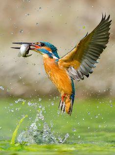 Common kingfisher by Alessandro Rossini Common Kingfisher, Kingfisher Bird, Pretty Birds, Beautiful Birds, Flora Und Fauna, Mundo Animal, Small Birds, Exotic Birds, Bird Watching