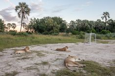 Chitabe's wildlife experience begins right in and around the camp. Lions on the staff soccer field