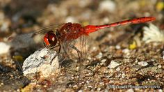 red dragonfly2 Moth, Insects, Bee, Photography, Animals, Honey Bees, Photograph, Animales, Animaux