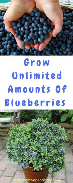 Grow Unlimited Amounts Of Blueberries In Your Backyard!!!