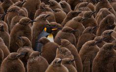 Занимательная Пингвинология. WWW.WORLDPHOTOTRAVELS.COM #south #georgia. #sub-antarctic. #king #penguins #colony. #chicks. #salisbury #plain. #st. #andrews #bay. #creche#south #georgia. #sub-antarctic. #king #penguins #colony. #chicks. #salisbury #plain. #st. #andrews #bay. #creche Photographer: Майк Рейфман